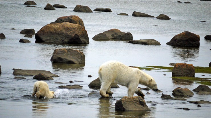 Oops! Young polar bear cub does impromptu dive into Hudson Bay as Mom tiptoes over rocks at Seal River.