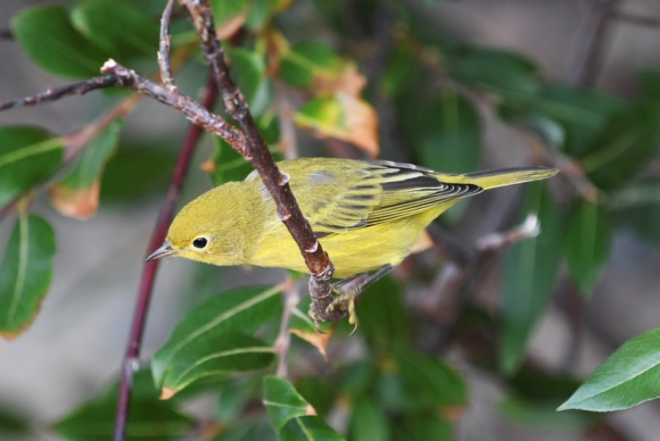 Yellow warbler at Seal River Heritage Lodge. Photo courtesy of guest Mishko Hansen.