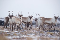 Andy-Skillen_The-caribou-came-back1k