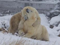 PolarBearCuddleAndySkillen