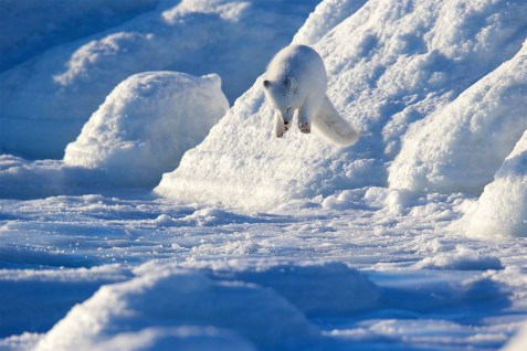Pouncing Arctic fox at Seal River Heritage Lodge on the ice. Andy Skillen photo.