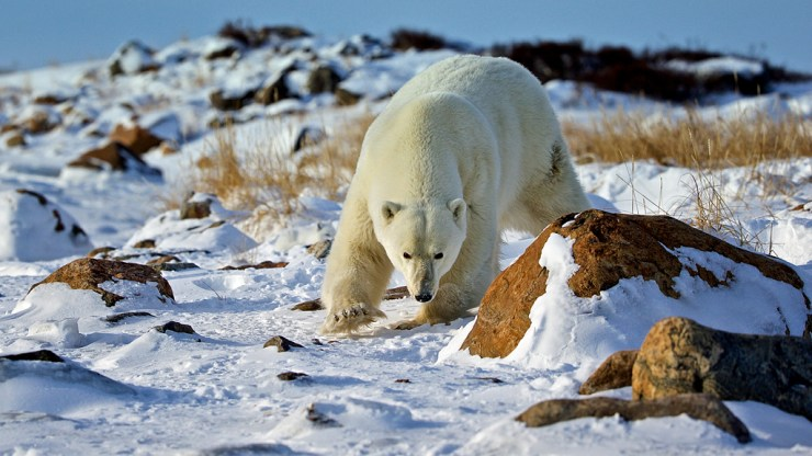 Polar bear at Seal River. Andy Skillen photo.