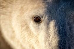 polarbearfacechurchillwildandyskillen