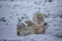 polarbearjustchillinandyskillen