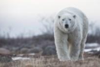 Handsome polar bear.