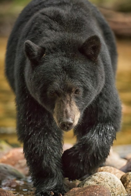 Black bear in B.C.