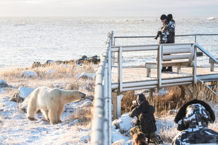 Polar bear conversing with guests at Seal River Heritage Lodge. Jad Davenport photo.