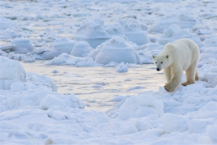 Polar bear navigates the ice at Seal River Heritage Lodge. Photo by Robert Postma courtesy of Lonely Planet.