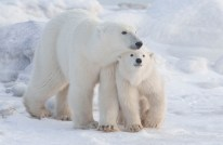 Polar bear Mom and cub at Seal River Heritage Lodge.