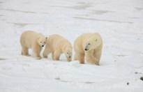 Polar bear Mom and cubs at Churchill Wild.