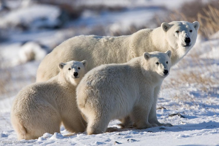 Polar bear Mom and cubs looking back on the Great Ice Bear Adventure. Michael Poliza photo.