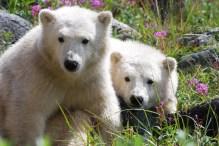 polar-bear-cubs-seal-river-heritage-lodge
