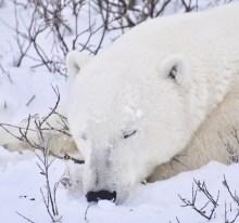 polar-bear-great-ice-bear-adventure-tammy-donly