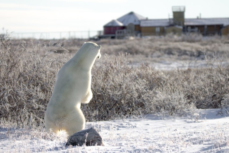 Polar bear keeping an eye on Seal River Heritage Lodge. Tiffany Lacey photo.