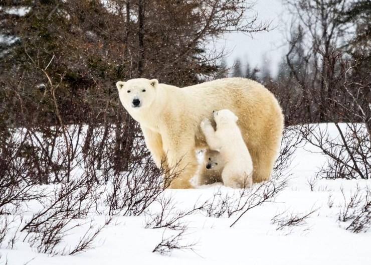 Polar bear cubs with Mom on the Polar Bear Den Emergence Quest. Virginia Huang photo.