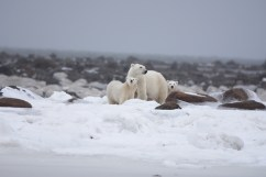 polar-bear-mom-and-cubs-waiting-for-ice-Steve-Levi