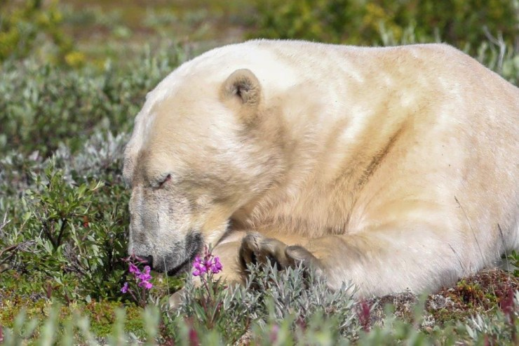 Polar bear takes time to smell the flowers at Seal River Heritage Lodge. Judith Herrdum photo.