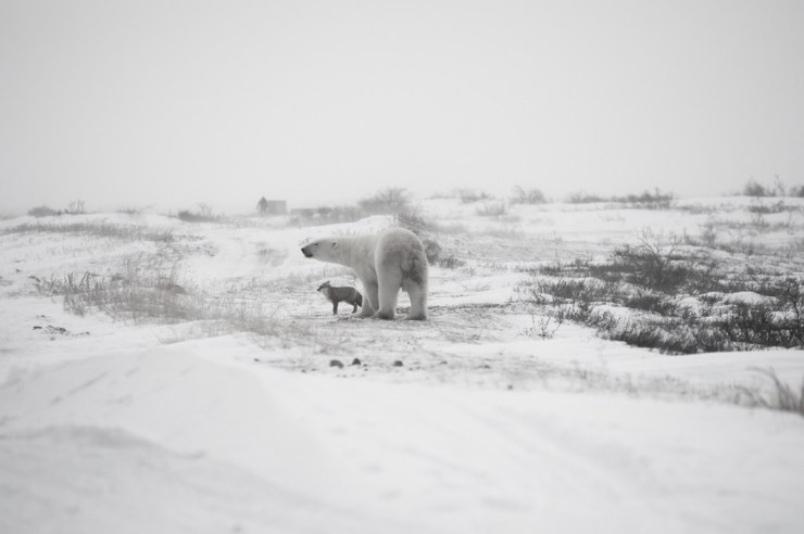 Two against the storm. Polar bear and Arctic fox at Seal River Heritage Lodge. Birgit-Cathrin Duval photo.