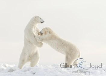 polar-bears-sparring-gillian-lloyd