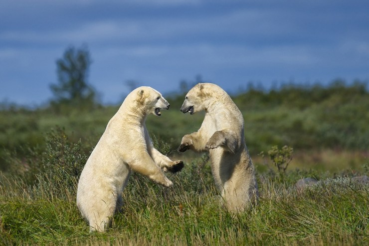 Summer sparring at Nanuk Polar Bear Lodge. Jad Davenport photo.
