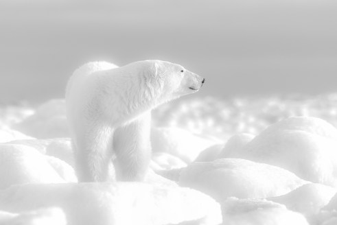 polarbearchurchillwilddennisfast