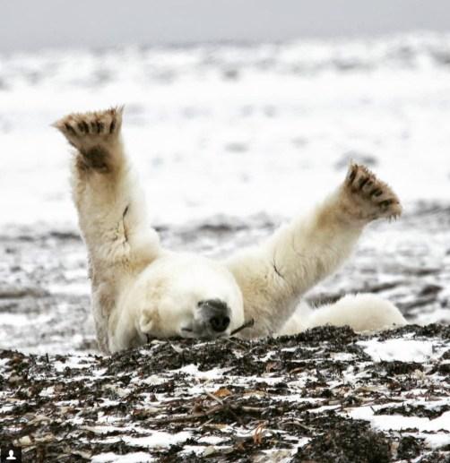 scarbrow-polar-bear-dymond-lake-ecolodge - Copy