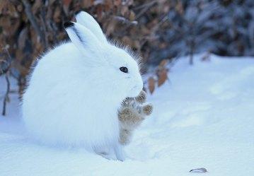 arctic-hare-Nanuk-Polar-Bear-Lodge-Ian-Johnson