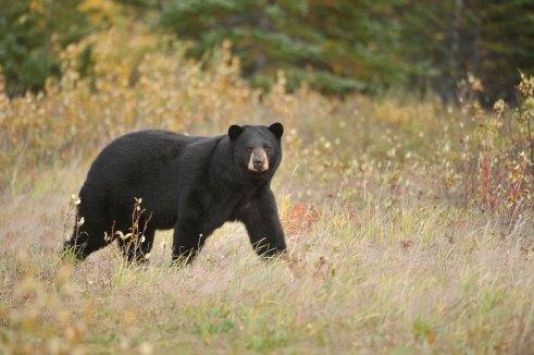 black-bear-Nanuk-Polar-Bear-Lodge-Ian-Johnson