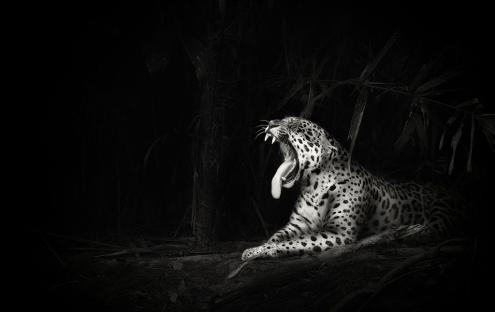 leopard-Ian-Johnson-photo