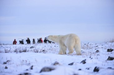 Polar bear on the ridge at Seal River Heritage Lodge. Ian Johnson photo.