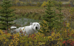 polar-bear-fall-colours-Churchill-Wild-Ian-Johnson1k