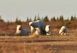 polar-bear-families-Nanuk-Polar-Bear-Lodge-Ian-Johnson