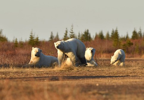 polar-bear-families-Nanuk-Polar-Bear-Lodge-Ian-Johnson