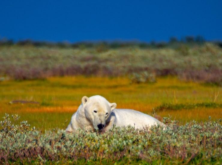 Polar bear relaxing at Nanuk Polar Bear Lodge.