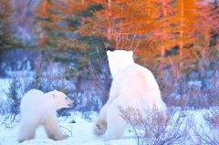 polar-bear-mom-and-cub-fall-colours-snow-Churchill-Wild-Nanuk-Ian-Johnson