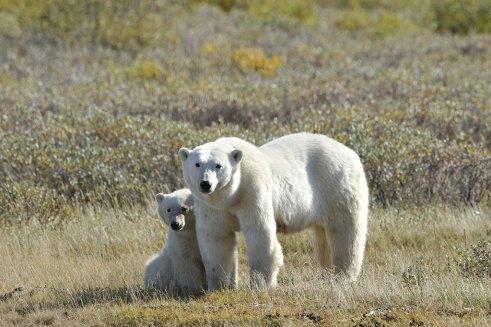 polar-bear-mom-and-cub-summer-Churchill-Wild-Nanuk-Ian-Johnson