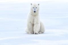 polar-bear-sitting-on-ice-Nanuk-Polar-Bear-Lodge-Ian-Johnson