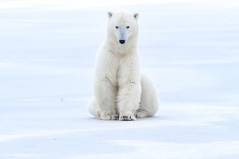 polar-bear-sitting-on-ice-Nanuk-Polar-Bear-Lodge-Ian-Johnson