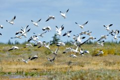 snow-geese-Nanuk-Polar-Bear-Lodge-Ian-Johnson