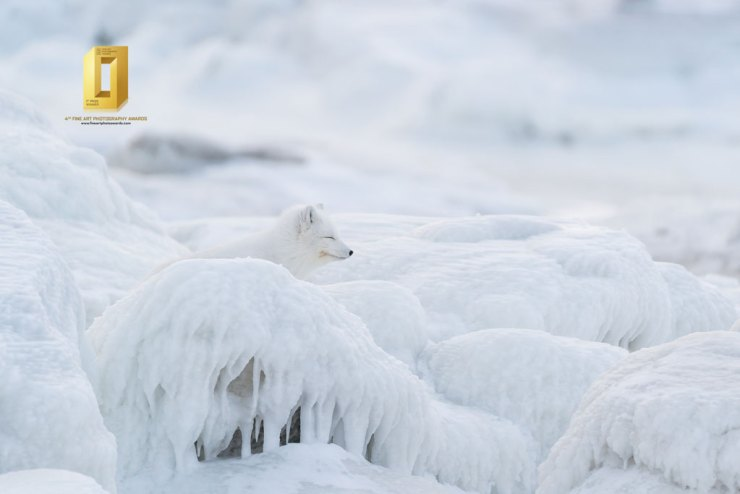 Arctic fox in a silent world of ice at Seal River. Anthony Lau photo.