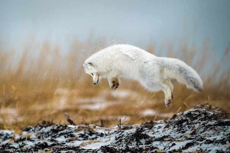 Arctic fox pouncing on the Polar Bear Photo Safari at Seal River Heritage Lodge. Photo by guest Robert Hlavica.