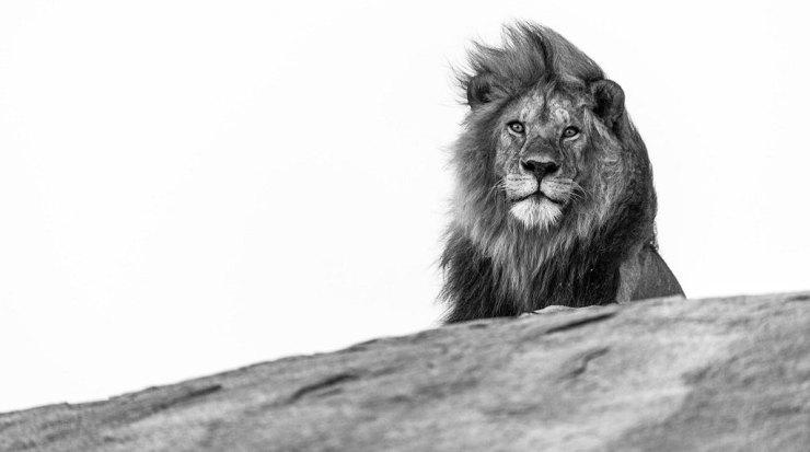 Lion. Serengeti, Tanzania.