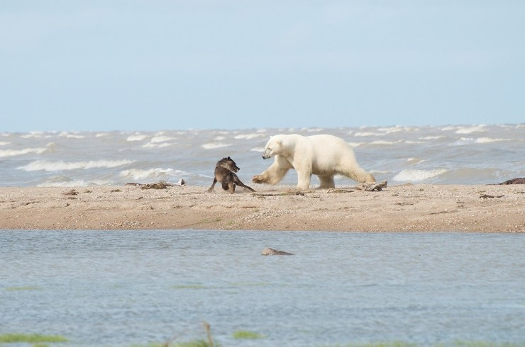 Polar bear swats at wolf on the Hudson Bay Odyssey at Nanuk Polar Bear Lodge. Photo by guest Anne Bastien.