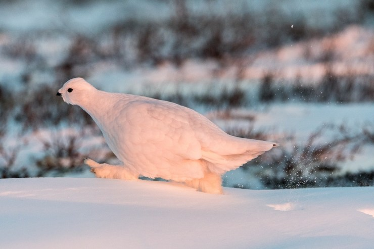 Ptarmigan out for a walk at Dymond Lake. Henry Altszuler photo.
