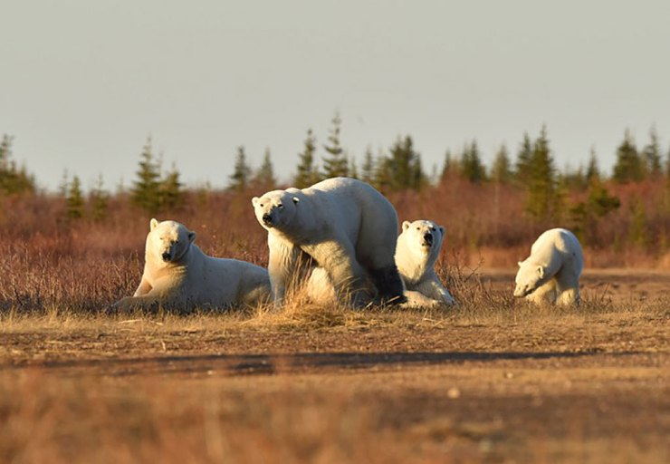 Polar bears enjoying their summer at Nanuk Polar Bear Lodge.