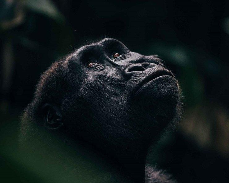Western Lowlands Gorilla. Republic of Congo.