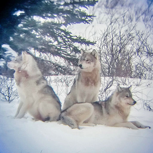 Wolves photographed on an iPhone through the scope at Nanuk Polar Bear Lodge on the Den Emergence Quest. Photo by guest Sue Chadwick.