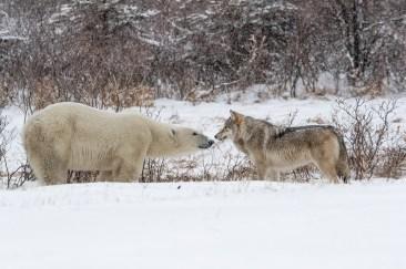 Hon. Mention - Polar Bears - Russell Millner - Polar Bear Photo Safari at Nanuk