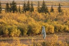 Hon. Mention - Polar Bears - Susan Jenkins - Hudson Bay Odyssey