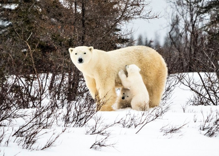 Mom and cubs. Den Emergence Quest. Virginia Huang photo.